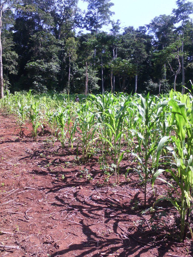 Champ de maïs cultivé par l'association Soboyo Bangui