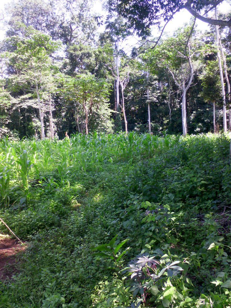 Du maïs au milieu de la forêt à 35km de Bangui
