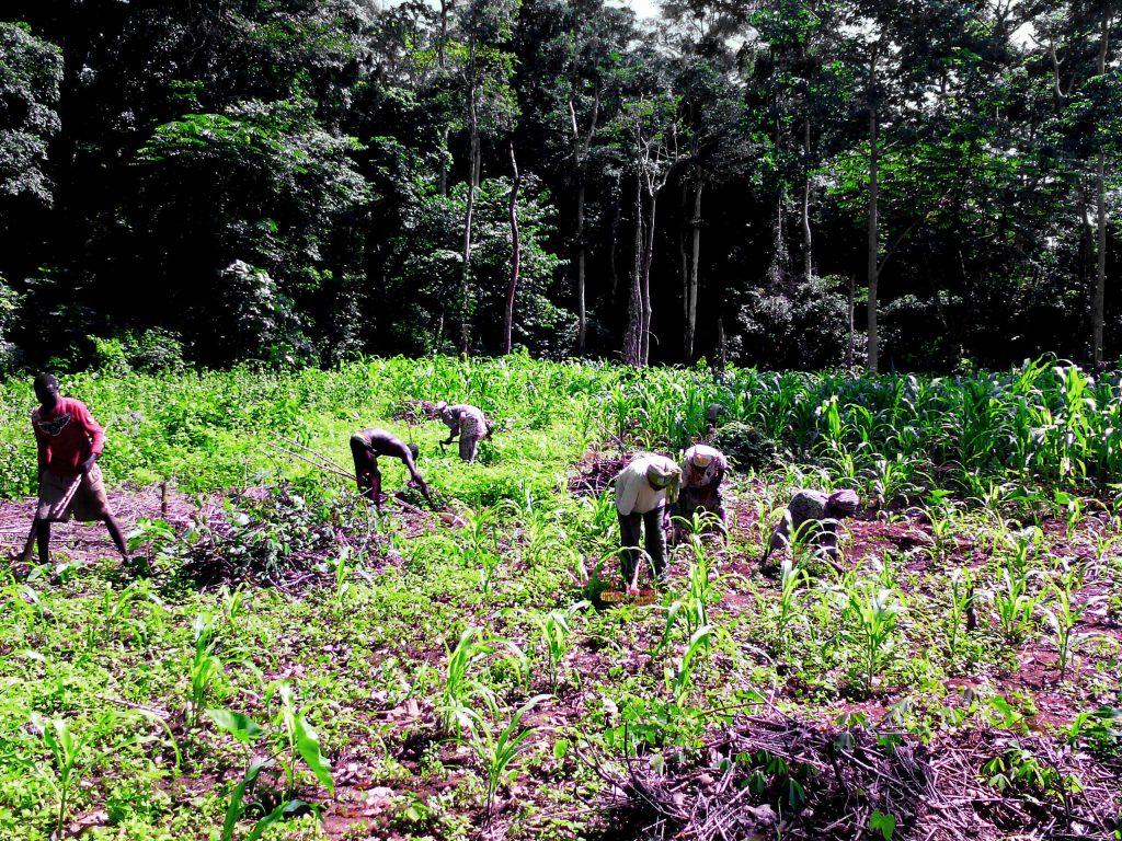 Femmes et hommes de Soboyo partagent le travail aux champs
